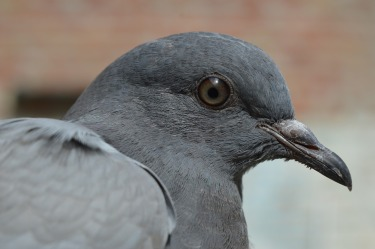 pigeon-380221_1280